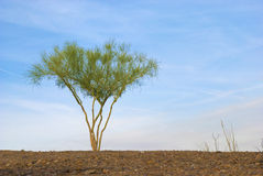 Lone Palo Verde Tree Stock Images