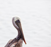 Lone Pelican Royalty Free Stock Images