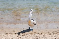 Lone pelican on beach shore Royalty Free Stock Photos