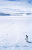 Lone Penguin on Sea Ice. A lone Adelie penguin on sea ice in Antarctica stock photo