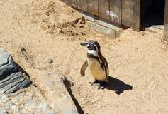 Lone penguin. Stock Image