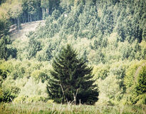 Lone picea abies tree in front of the forest Royalty Free Stock Photo