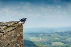 Lone pigeon on corner of a roof Royalty Free Stock Image