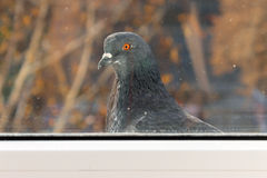 A lone pigeon outside the window Royalty Free Stock Photos