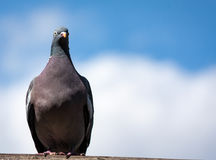 A Lone Pigeon. Perching near the giraffe enclosure. I like the negative space in this image stock image