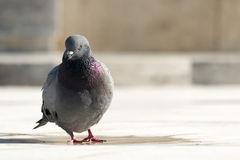 Lone Pigeon Royalty Free Stock Photography