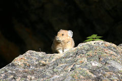 Lone Pika. Pika on a rock in the sunshine with dark background Stock Photo