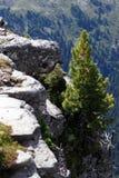 Lone pine Stock Photos