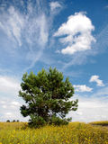 Lone pine on a background of sky Stock Images