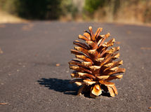 Lone Pine Cone Stock Image