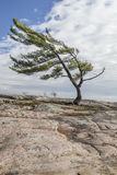 Lone Pine on Georgian Bay. Wind Swept Tree on Georgian Bay, a Group Of Seven inspiration Stock Photography