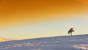 Lone pine Stock Images