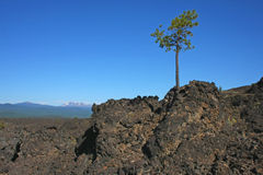 Lone Pine on a Lava Flow Royalty Free Stock Photos