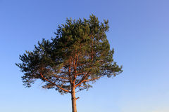 Lone pine over the blue sky Stock Photography