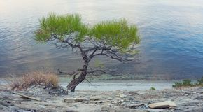 Lone Pine on shore of sea. In autumn Royalty Free Stock Image