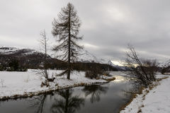 Lone pine at Sils Maria, Switzerland Royalty Free Stock Photography