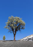 Lone pine tree Stock Photos