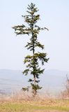 Lone pine tree against blue sky Royalty Free Stock Photo