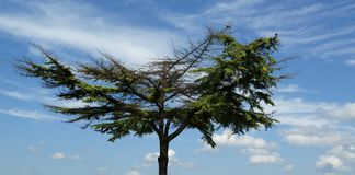 Lone pine tree with a broad crown Royalty Free Stock Image