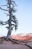 Lone pine tree at Bryce Canyon Royalty Free Stock Image