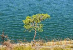 Lone pine tree Stock Photo