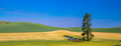 Lone Pine Tree. Panoramic Composition of Lone Pine Tree Amidst Wheat Fields in Palouse Region of Washington State stock photography