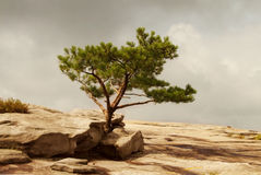 A lone pine tree on a rocky ground Stock Photos