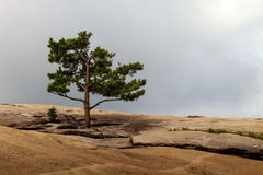 A lone pine tree on a rocky ground Stock Image