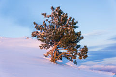 Lone pine tree Royalty Free Stock Photos
