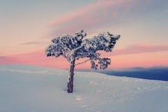 Lone pine tree Stock Photos