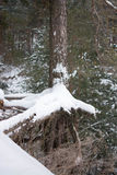 Lone pine tree in winter forest. The hanging roots of a tree over a ravine. Russian winter Stock Photo