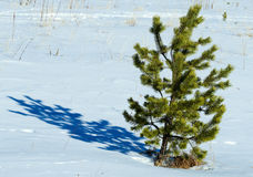 Lone pine winter Stock Images