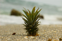 Lone Pineapple on Beach. A mysterious pineapple on beach with ocean in the background Stock Photos