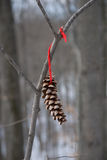 Lone Pinecone. Pinecone hanging from tree branch by red yarn. Limited depth of field Royalty Free Stock Image