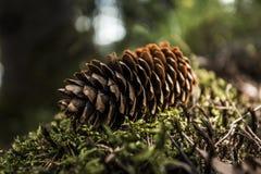 lone pinecone Arkivfoto
