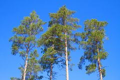 Finland: Lone Pines Stock Photos