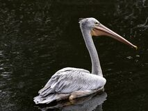 Free Lone Pink-backed Pelican, Pelecanus Rufescens, Looking For Food In A Large Pond Stock Image - 193942301