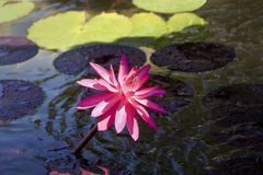 Lone Pink Lily. A close up of a single pink lily coming out of a pond Royalty Free Stock Images