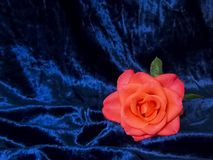 A lone pink rose on a satin blue background. stock photography