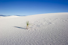 A lone plant in the desert. A lone plant struggles to survive in the White Sands desert stock image