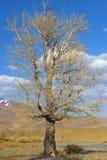 Lone poplar tree Stock Photos