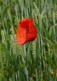 Lone Poppy. A poppy in a field in South East England Stock Image