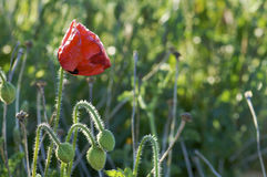Lone poppy Stock Image