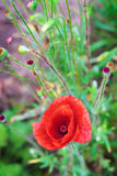 Lone poppy. In the background is not bloomed Stock Photos