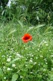 Lone Poppy. Single, lone poppy in a meadow / field royalty free stock image