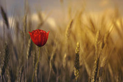 Lone poppy. In wheat field Royalty Free Stock Photo