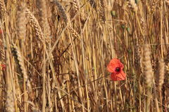 A lone Poppy in a field Royalty Free Stock Photo