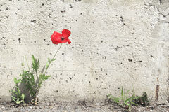 Lone poppy flower grew between the asphalt and wall Royalty Free Stock Images