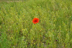 Lone poppy on green background Stock Photography