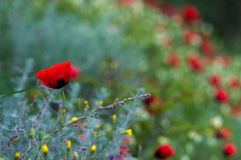 Lone poppy Royalty Free Stock Image